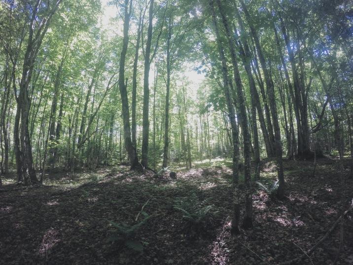 Maple & Cedar forest